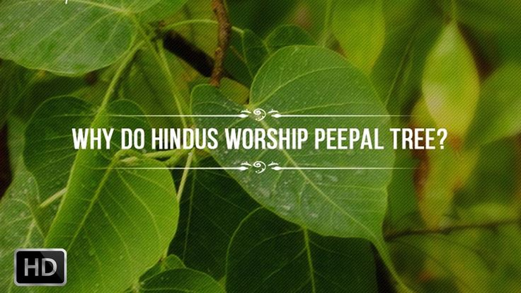 Why do Hindus Worship The Peepal Tree - Scientific Benefits and Hindu My...