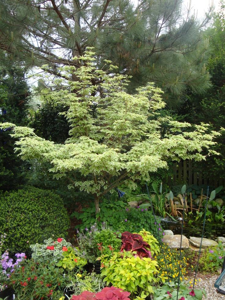 Variegated Kousa Dogwood 'Wolf's Eye' | garden | Pinterest ... Variegated Dogwood Tree
