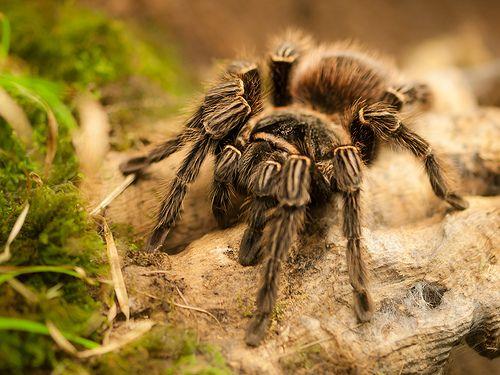 #Pet #Tarantula Facts