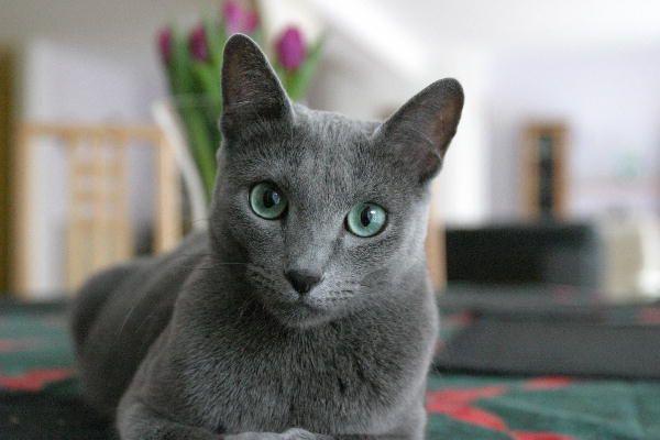 CATS-форум :: Просмотр темы - Русские голубые кошки - 3