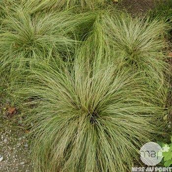 Carex morrowii ice dance : pot Ø 14cm