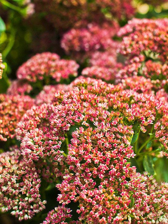 17 Best Images About Sedum On Pinterest Gardens Early