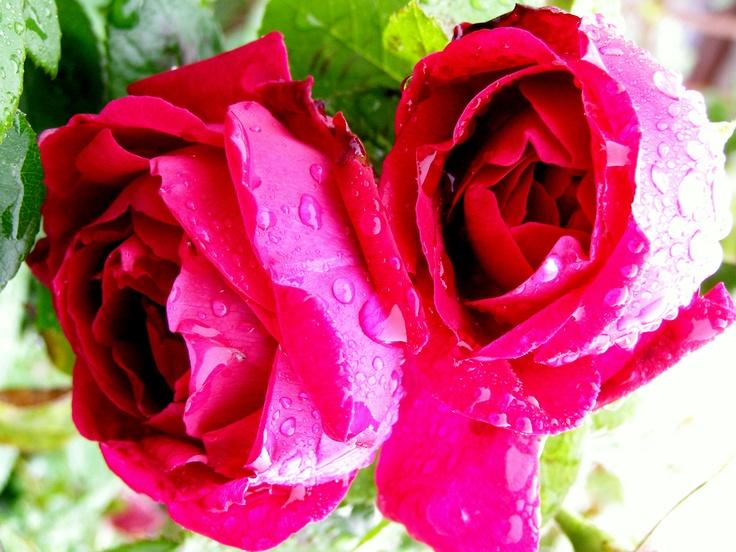 Rosas rociadas