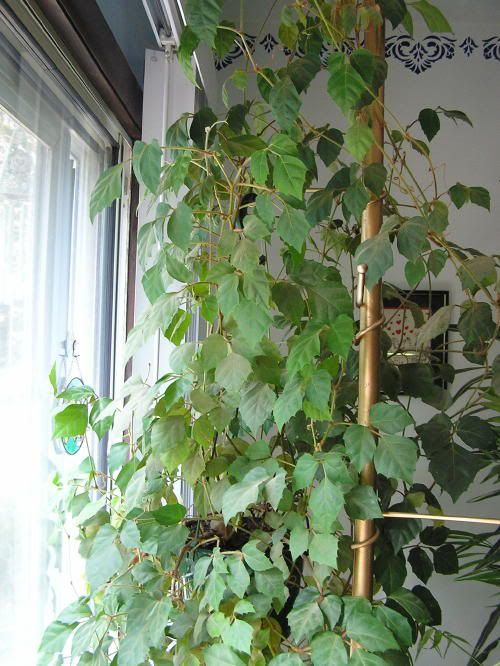 Indoor Ivy Plants Sale