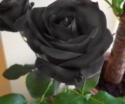 Las rosas Negras: significa separación y tristeza, muerte y nocturnidad.