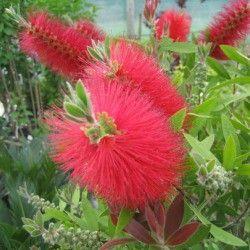 Feuillage coloré ! Hybride bien connu, le Callistemon laevis vous ravira de son originale floraison rouge vif du début de l'été à l'automne. Cette plante d'origine australienne est parfaitement adapatée à la culture en pot sur balcon ou terrasse, ou en pleine terre dans les jardins de climat doux.Une touche d'exotisme dans votre jardin ! Arbuste à port compact et arrondi, pouvant atteindre 1m, le Callistemon laevis possède un feuillage persistant et vert tendre. La floraison do...