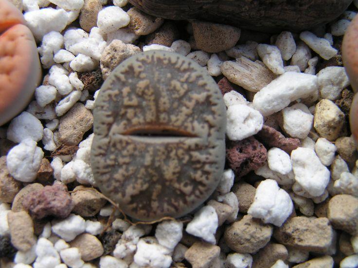 Lithops lesliei ssp. lesliei v. venteri C001