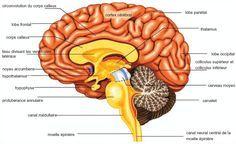 Ensemble des centres nerveux contenus dans le crâne, le cerveau tout entier, la partie encéphalique du système nerveux central, ensemble du contenu de la boîte crânienne. Nom masculin . Du grec ἐν…
