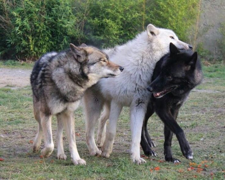 three different colored wolves