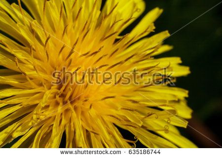 Dandelion yellow flower