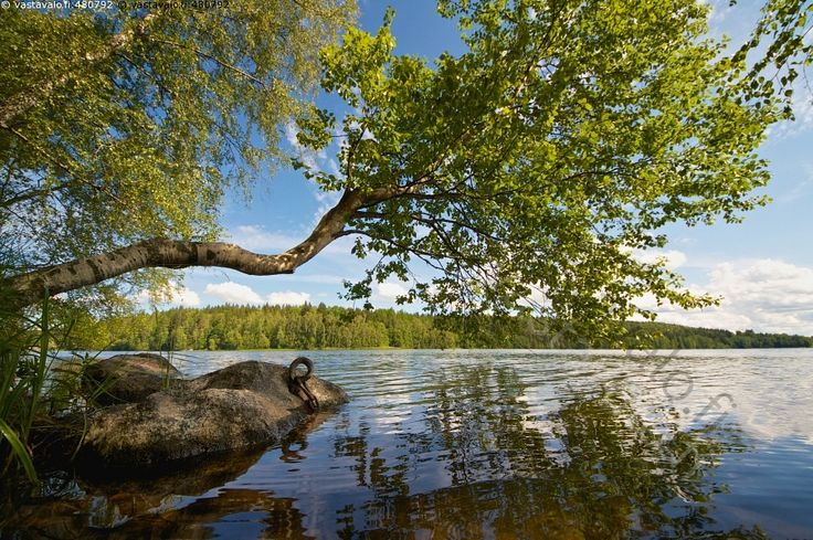 Erikoinen puu järven rannassa - Aulanko Hämeenlinna erikoinen järvi järvimaisema kasvi kesä kesäinen kirkas kivi kivikko lehtipuu luonto maisema puu ranta tunnelmallinen tyyni vesi vesistö
