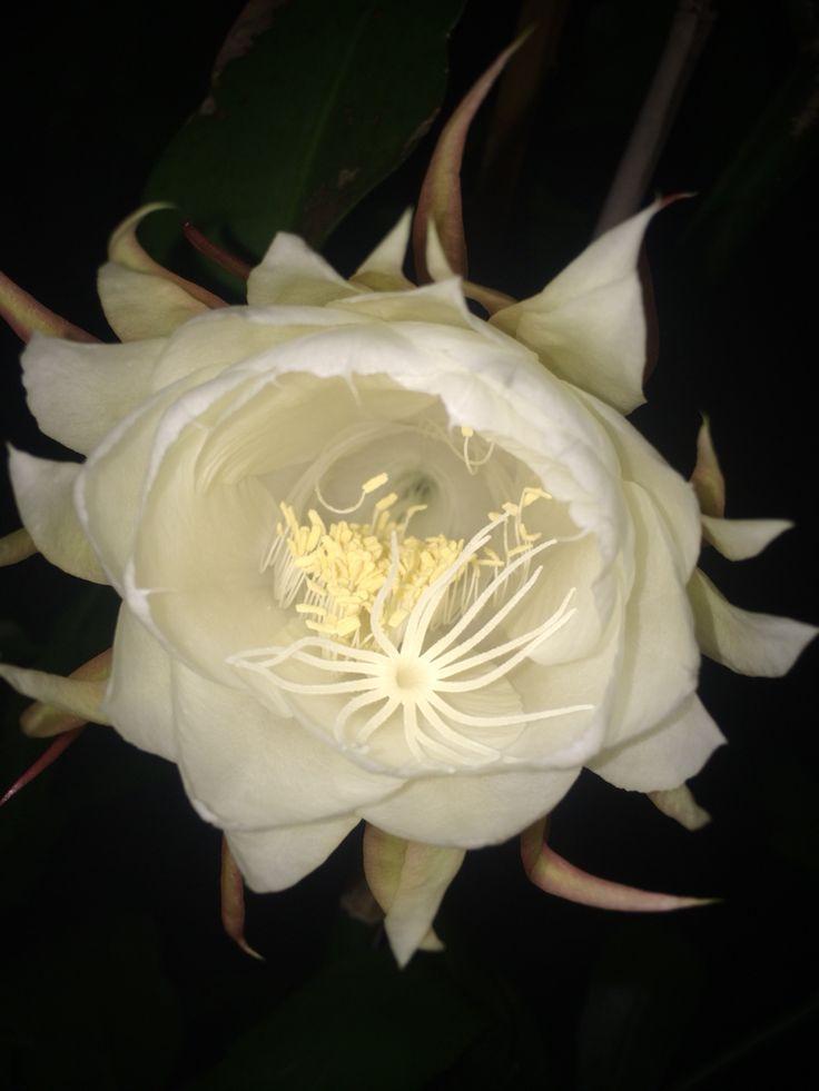 Night blooming cerus