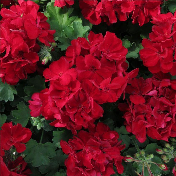 nouveaut geranium cassiopeia melange d 39 un lierre et droit soleil quelle couleur. Black Bedroom Furniture Sets. Home Design Ideas
