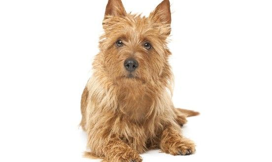 #AustralianTerrier information including pictures, price, grooming, shedding, coat, health and care, maintenance cost, behavior and much more.