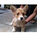 My next dog is a Corgi