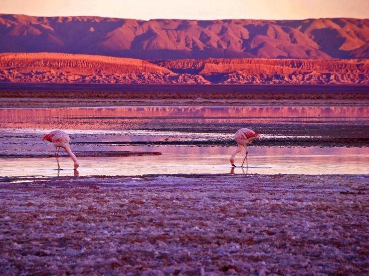 Salar de Atacama, flamingos