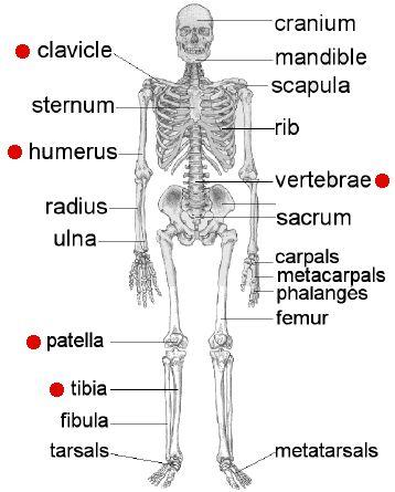 Name Dem Bones - online quiz matching real bone names to the common bone names!