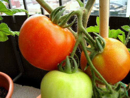 Early Girl tomatoes are an extremely popular variety that is one of the most common supermarket and backyard garden varieties in the U.S. This indeterminate variety grows to about the size of a ten...