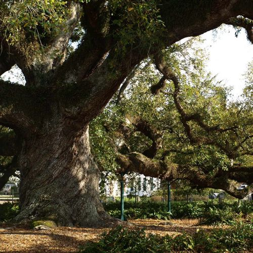 St John Cathedral Oak, Lafayette, Louisiana. Rumored to be 450 years old.