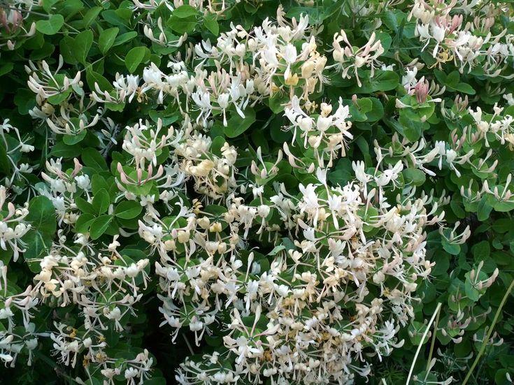 Tuoksuköynnöskuusama, Lonicera caprifolium - Puut ja pensaat - LuontoPortti