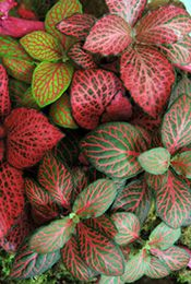 plant care for fittonia a house plant lovers dream free plant care guide for pretty fittonia plant a creeping plant with leaves of white red - Red Flowering House Plants