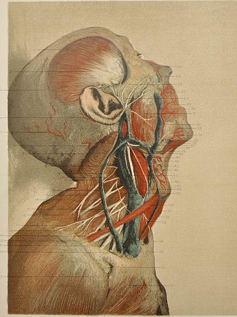 144 Best Vintage Medical Illustration Images On Pinterest Anatomy