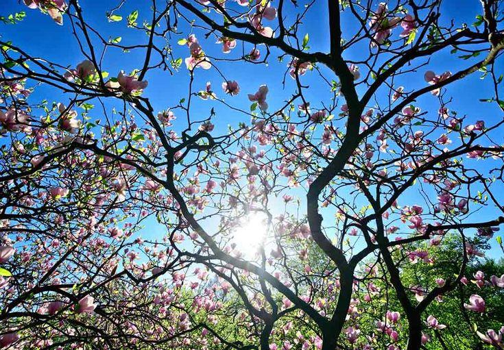 Magnoliatreet lyser opp med sine vakre blomster. Lær mer om hvordan du får det eksotiske treet til å trives hos deg.
