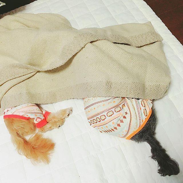 頭隠して尻隠さず🐶🐶 今日も最高の癒しをありがとう。  #家 #リビング #イブル  #キルティングマット  #癒し #ほっこり #うたた寝  #dog #dogs #dogstagram  #犬 #わんこ #愛犬  #犬との生活 #犬と暮らす  #犬のいる生活 #犬のいる暮らし  #犬との暮らし #家族  #ポメプー #シュナプー  #idog #そっとしておこう