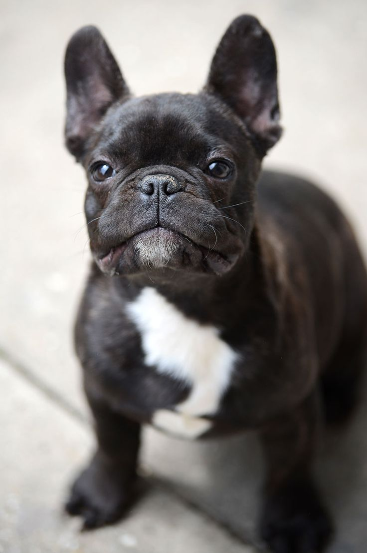 French bulldog breed council