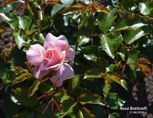 Редактирование фотографии: Боттичели (альбом: Розы 2016 г.)