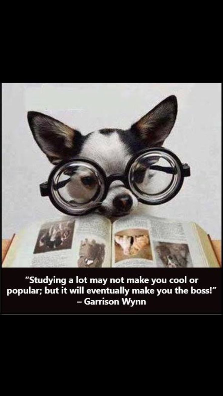 Boss lady funny chihuahua pictures chihuahua funny