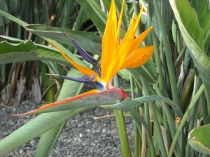Beautiful Bird of Paradise flower. Christmas at The Marina Suites, Puerto Rico, Gran Canaria (December 2012).