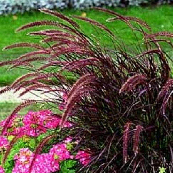 Fj derborstgr s 39 rubrum 39 garden plants pinterest for Dwarf grasses perennials