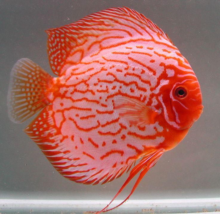 discus fish | Diskusfisch Pigeon Blood Blau/Rot Mix 6,5cm