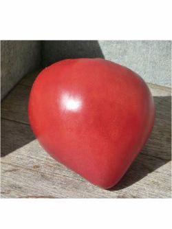 Die Turkmenische Fleischtomate 'Serdtse Ashkhabada'  ist eine rosa-rote Ochsenherztomate mit sehr angenehmen milden Aroma. Ihre Früchte sind herzförmig und erreichen leicht 300 g und mehr.