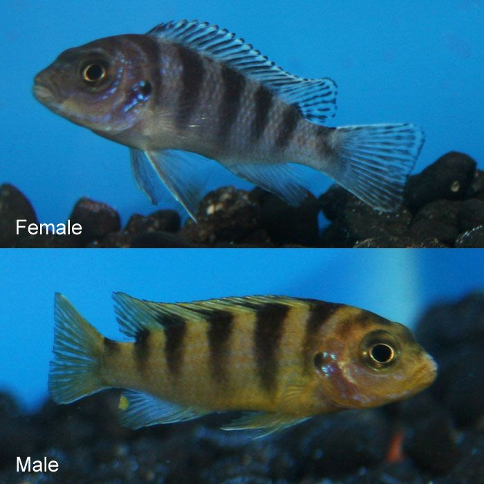 116 best freshwater fish images on pinterest freshwater for Black and white striped fish freshwater