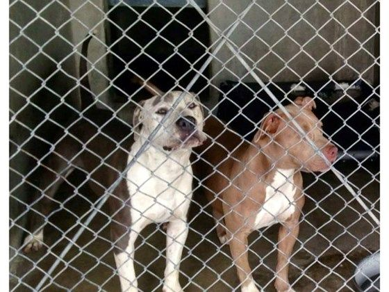 2 pitties saved in last hour from CA kill shelter for family | Pet Expenses - YouCaring.com