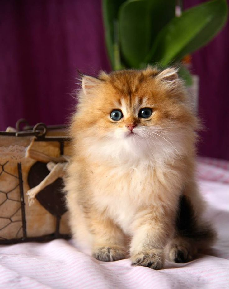Golden Shaded British Longhair Kitten With Images Cute Cats
