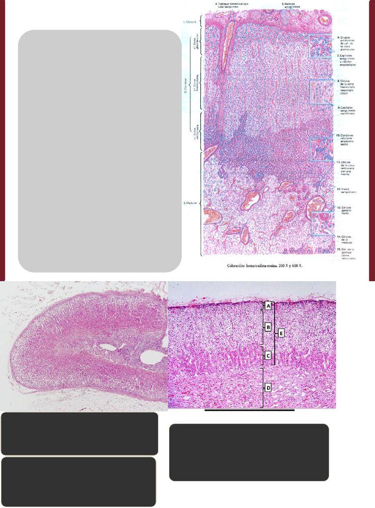 Glándulas suprarrenales (1)