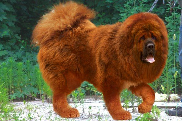 most expensive dog in the world | red tibetan mastiff becomes world s most expensive dog they say money ...