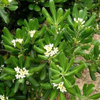 Pittosporum Tobira : un bel arbuste au feuillage vert brillant ! Le Pittosporum du Japonest un arbuste robuste au feuillage persistant. C'estun sujet idéal pour former de belles haies bien denses.Au printemps, il se couvre de petits bouquets de fleurs blanches, elles dégagent un parfum délicieux.Le pittosporum tobira est une plante peu rustique : il est recherché dans les jardins en bord de mer, en Bretagne ou dans le Sud notamment.  Ne manquez pas découvrir la forme naine.