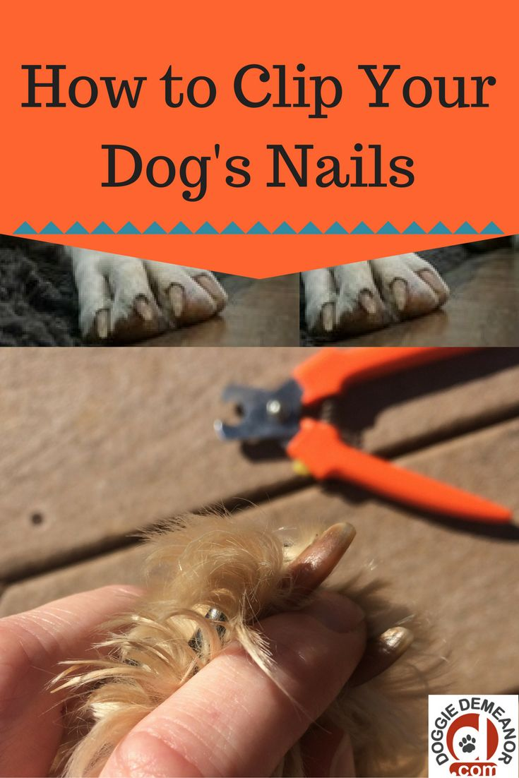 sedating a dog to clip nails Is your dog not cooperating with you for his nail clipping and grooming get important tips here to sedate a dog at home to cut nails and grooming activity.