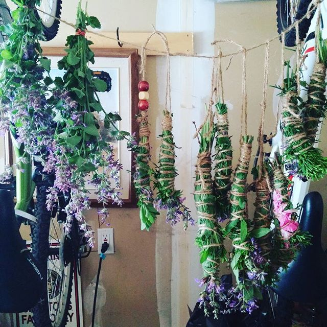 Everything harvested this morning from my yard now drying in the garage. #sage #cedar #lavender #smudgestick #firebundle #dryinglavender