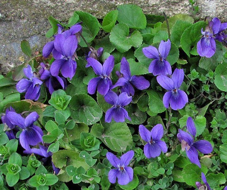 1000 ideen zu lila pflanzen auf pinterest lila garten outdoor pflanzen und schattenspendende. Black Bedroom Furniture Sets. Home Design Ideas