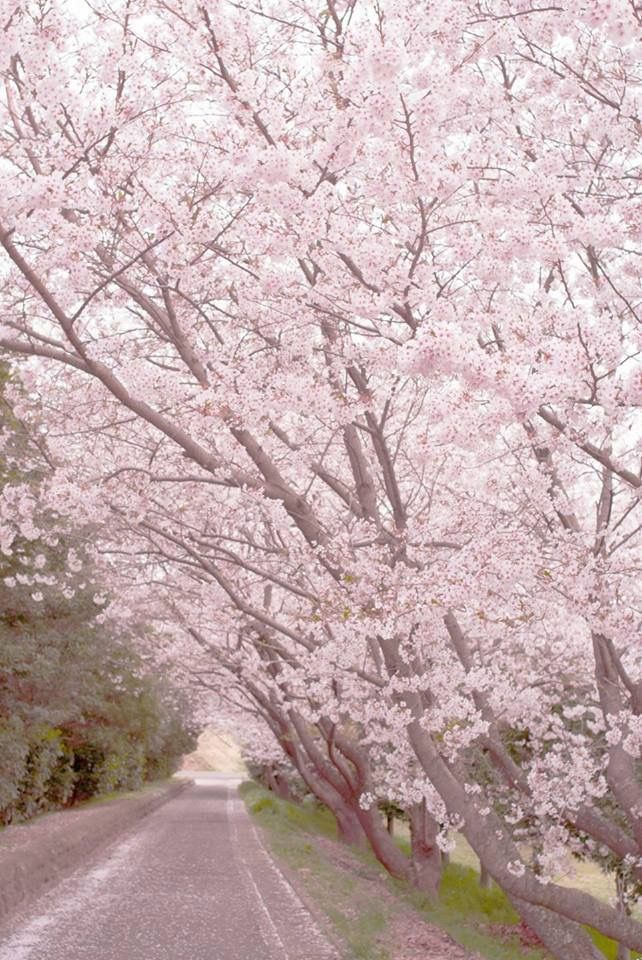 Pin By Asri Arianto On En Fleur Cherry Blossom Beautiful Places Seasonal Image