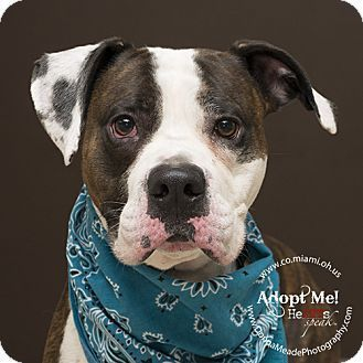 I am at a high kill shelter in Troy, OH - Boxer/Pit Bull Terrier Mix. Meet Braxton, a dog for adoption. http://www.adoptapet.com/pet/15454708-troy-ohio-boxer-mix