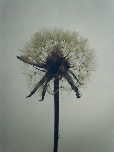 Some see a weed . Some see a wish .