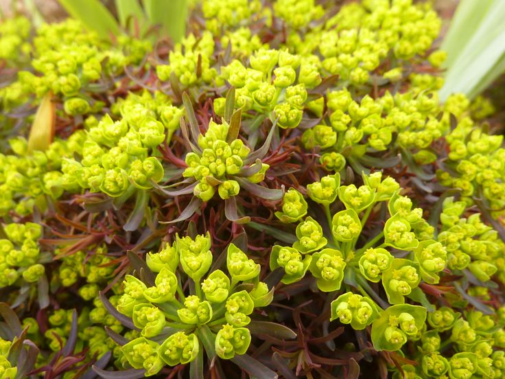 Euphorbia cyparissias 'Fens Ruby' Zypressenwolfsmilch als rotlaubige Form, sehr zierlich und ganz besonders während des Austriebs erregend schön. Die Art ist durch dünne unterirdische Rhizome geradezu ausbreitungsgierig! Sonne! Familie: Euphorbiaceae Blütenmonat: 4-5 Farbe: grüngelb Höhe: 30 Vermehrung: vegetativ