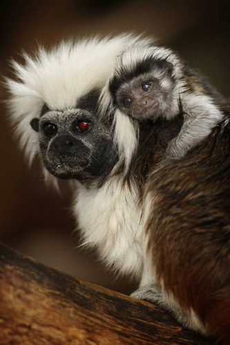 A baby cotton-top tamarin monkey gets a piggy-back.