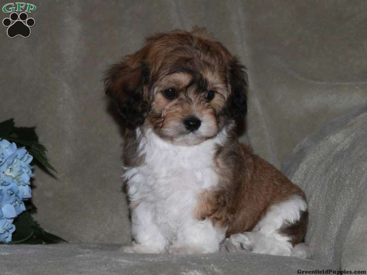 Cavachon Puppies to Adopt | Cavachon Puppies For Sale In ...